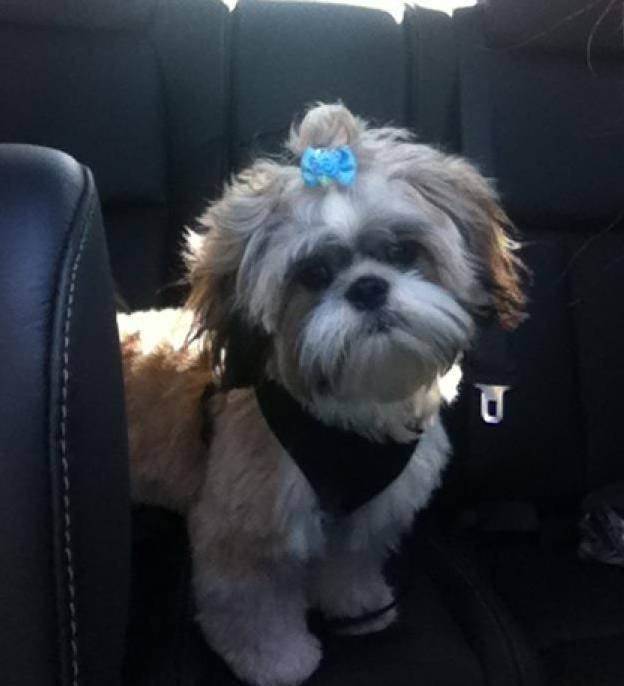 Dog Of The Day For 4232012 Max 8 Months Shih Tzu